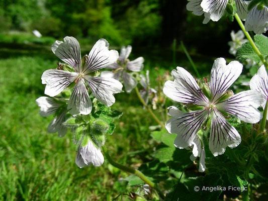 Geranium renardii - Kaukasus Storchschnabel, Blüten