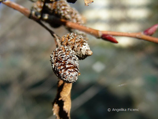 Alnus alnobetula - Grün Erle  © Mag. Angelika Ficenc