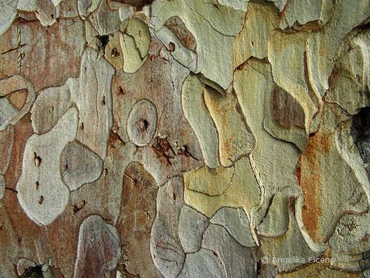 Pinus nigra - Schwarzföhre, Rinde
