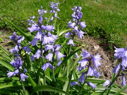 Hyacinthoides hispanica - Spanisches Hasenglöckchen   © Mag. Angelika Ficenc