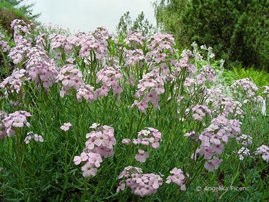 Aethionema grandiflora - Steintäschel