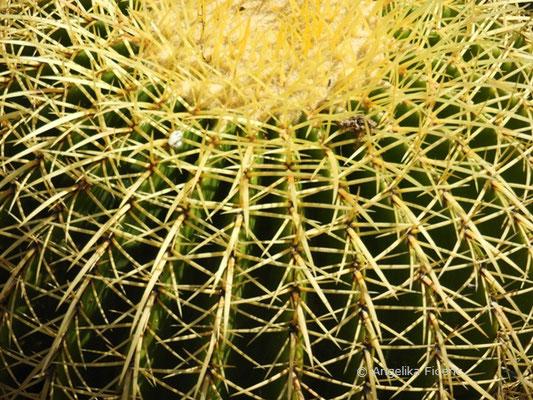Echinocactus grusonii - Schwiegermuttersessel  © Mag. Angelika Ficenc