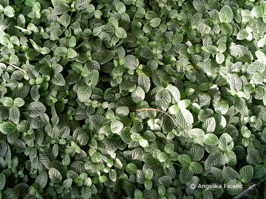Fittonia albivensis, Silberblatt mit namensgebender silberfarbener Blattaderung    © Angelika Ficenc