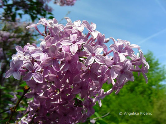 Syringa x cinensis (S. protolaciniata x S. vulgaris) - Chinesischer Flieder  © Mag. Angelika Ficenc