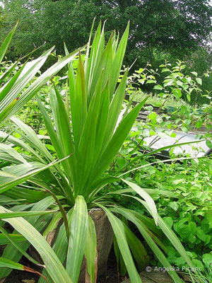 Doryanthes palmeri - Speerblume  © Mag. Angelika Ficenc