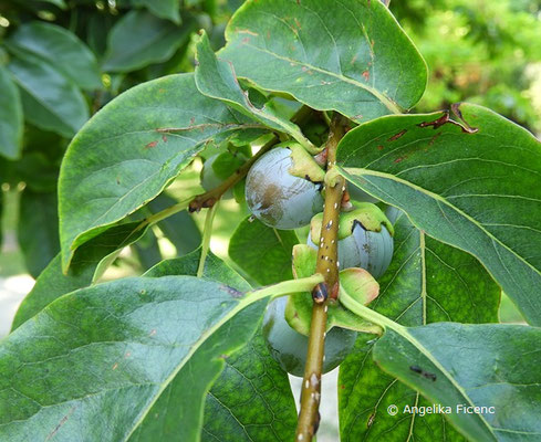 Diospyrus lotus - Dattelpflaume, unreife Früchte