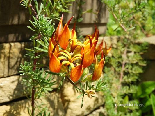 Lotus maculatus - Hornklee, Einzelblüte   © Mag. Angelika Ficenc