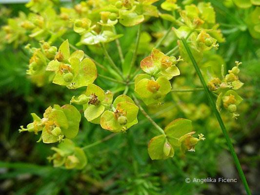Euphorbia cyparissias - Zypressen Wolfsmilch  © Mag. Angelika Ficenc