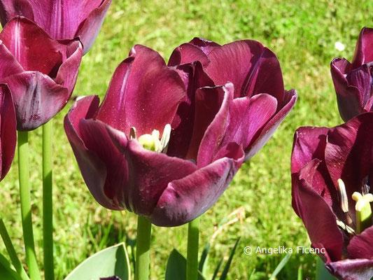 """Tulipa """"Carvelle Design"""" © Mag. Angelika Ficenc"""