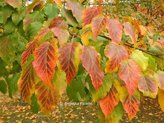 Acer davidii ssp. davidii   © Mag. Angelika Ficenc