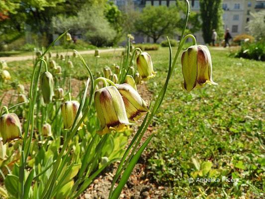 Fritillaria pontica - Pontus Fritillarie  © Mag. Angelika Ficenc