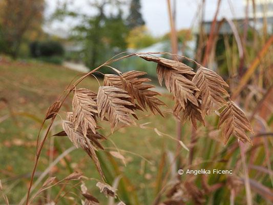 Chasmanthium latifolia  © Mag. Angelika Ficenc