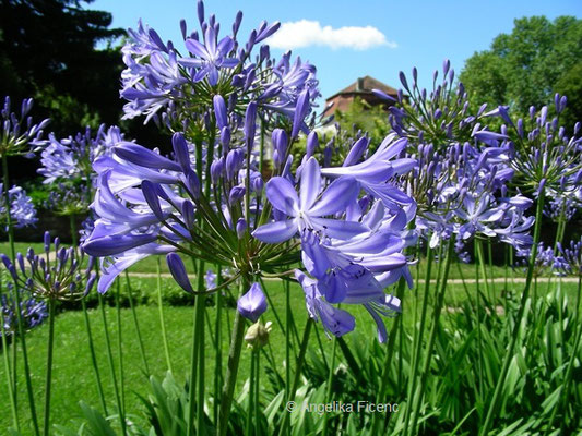 """Agapanthus africanus Tinkerbell - Liebesblume """"Tinkerbell""""    © Mag. Angelika Ficenc"""