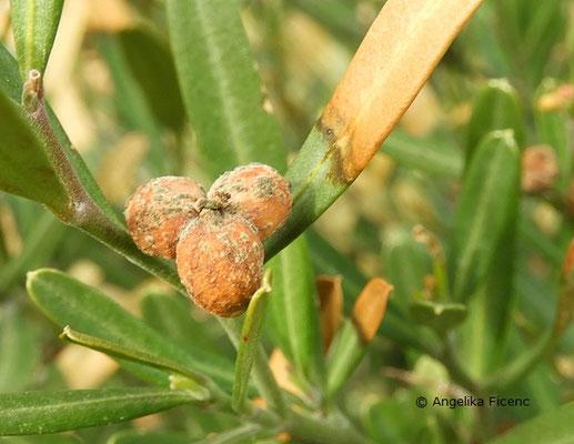 Cneorum tricoccon  © Mag. Angelika Ficenc