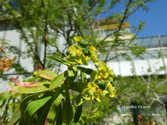 Euphorbia sp. © Mag. Angelika Ficenc
