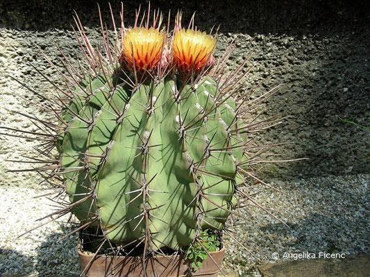 Ferocactus emoriyi subsp. rectispinus  © Mag. Angelika Ficenc