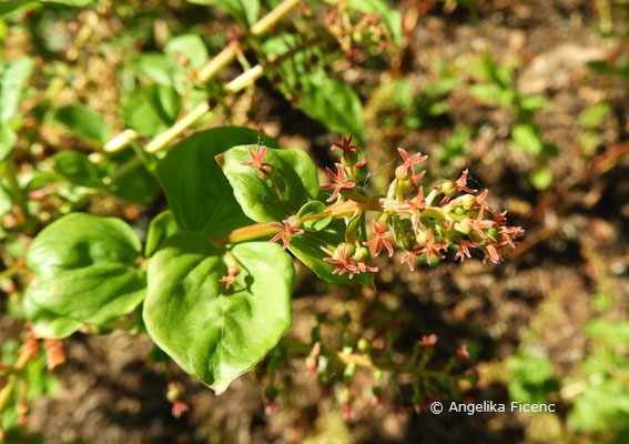 Coriaria japonica     © Mag. Angelika Ficenc