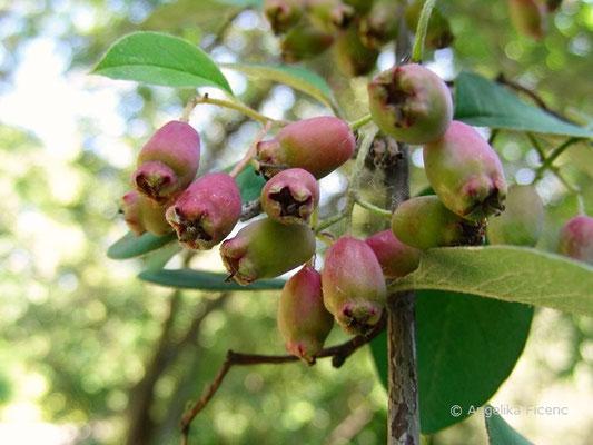 Cotoneaster heliophyllum - reifende Früchte