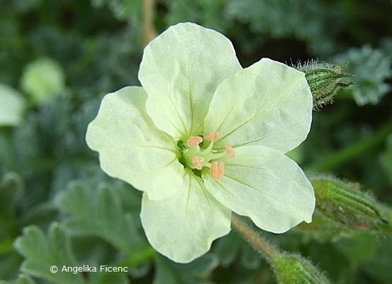 Erodium chrysanthum, Blüte