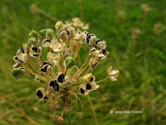 Allium denudatum   © Mag. Angelika Ficenc