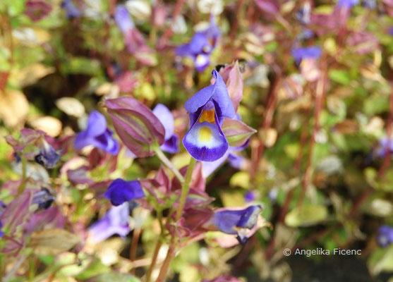 Torenia fournieri - Felsenlöwenmaul  © Mag. Angelika Ficenc