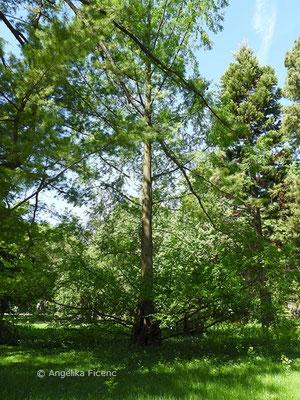 Metasequoia glyptostroboides - Chinesisches Rotholz, Habitus