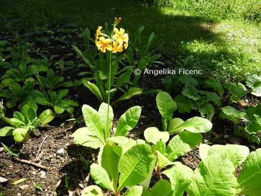 Primula bulleyana  © Mag. Angelika Ficenc