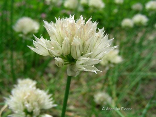 Allium schoenoprasum var. alpinum - Sibirischer Schnittlauch    © Mag. Angelika Ficenc