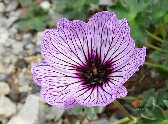 Geranaium subcaulescens var. - Storchschnabel, Einzelblüte