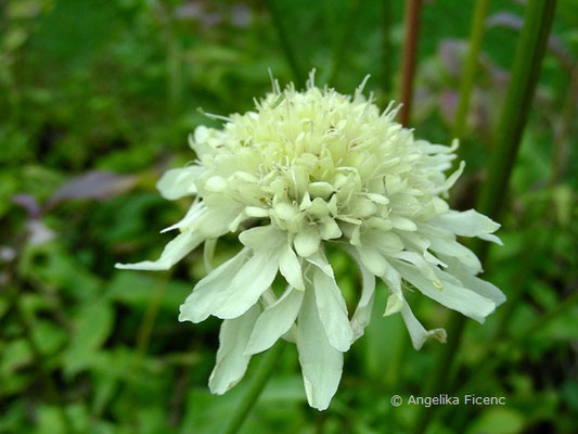 Cephalaria gigantea, Blütenstand