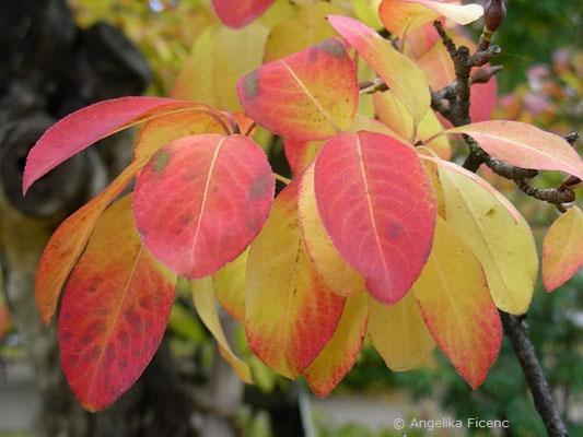 Viburnum prunifolium - Kirschblättriger Schneeball, Herbstfärbung