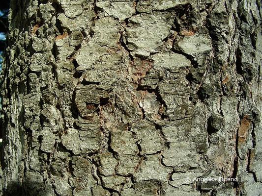 Abies numidica - Numidische Tanne, Stamm, Borke  © Mag. Angelika Ficenc