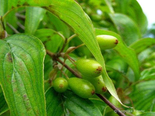 Cornus officinalis, unreife Früchte