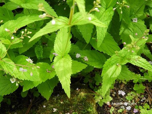 Veronica urticifolia  - Nessel-Ehrenpreis, Blätter  © Mag. Angelika Ficenc