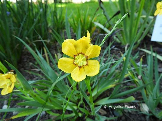 Sisyrinchium macrocarpum, Einzelblüte  © Mag. Angelika Ficenc