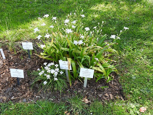 Iris japonica - Habitus