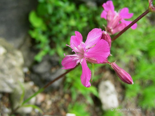 Lychnis viscaria - Gewöhnliche Pechnelke
