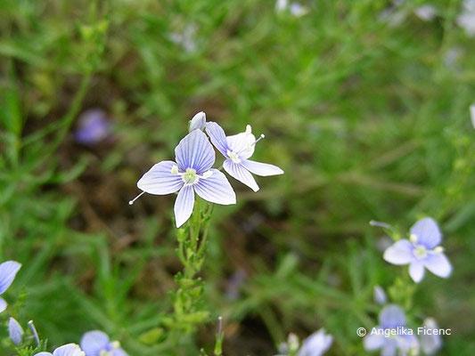 Veronica multifida - Lanzettblättriger Ehrenpreis, Einzelblüte