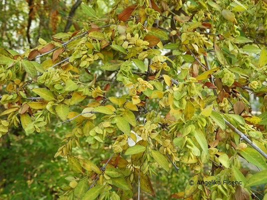 Fontanesia phillyreoides ssp. fortuenei - Glattrandige Fontanesie  © Mag. Angelika Ficenc
