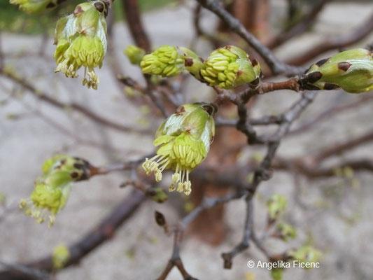 Acer griseum     © Mag. Angelika Ficenc