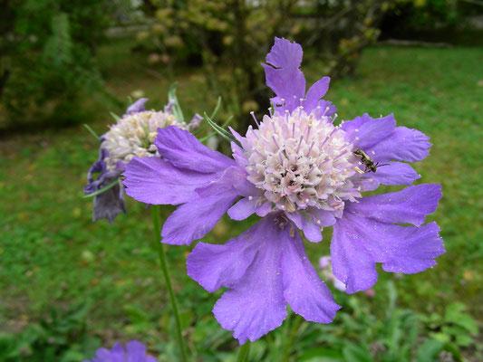 Lomelosia caucasica - Kaukasus Grasskabiose, Blütenstand