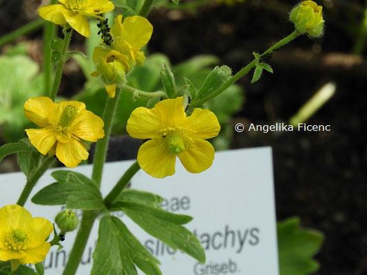 Ranunculus psilostachys © Mag. Angelika Ficenc
