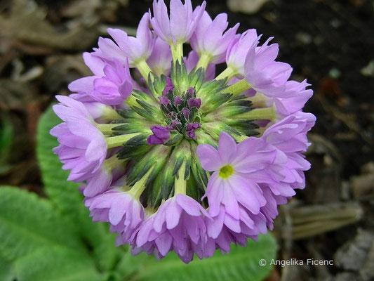 Primula denticulata - Kugel-Primel, Blütenstand in Aufsicht