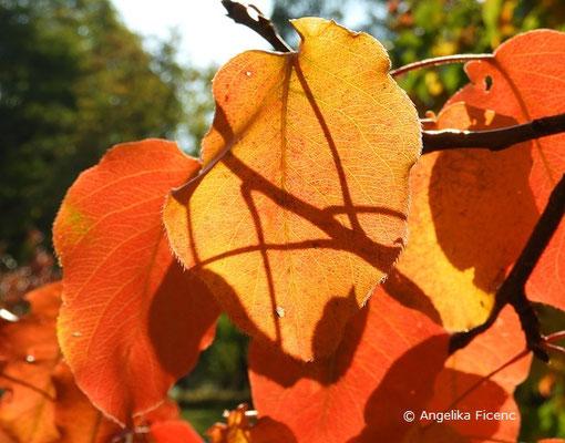 Pyrus pyrifolia var. culta - Naschi-Birne, Laubblätter im Herbst