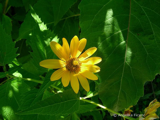 Heliopsis helianthoides - Sonnenauge  © Mag. Angelika Ficenc