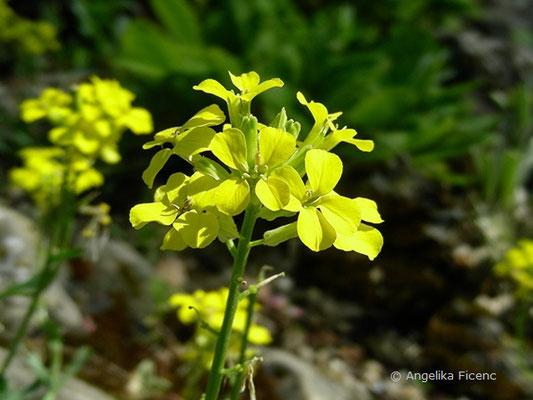 Erysium pulchellum - Hübscher Schöterich, Blütenstand