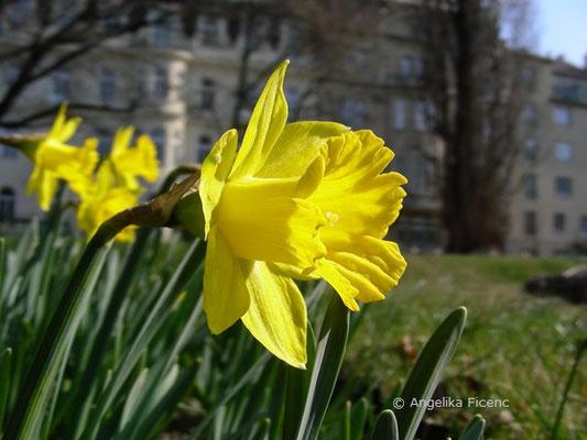 Narcissus pseudonarcissus var. pseudonarcissus - Gelbe Narzisse