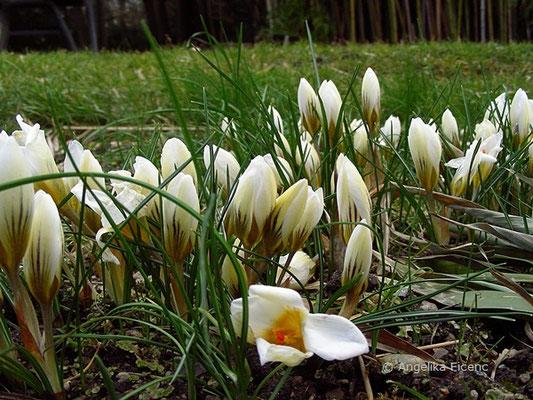 """Crocus chrysanthus """"Snow Bunting"""" - Kleiner Krokus"""