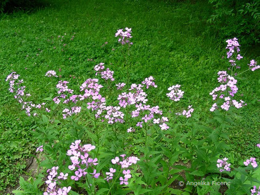 Hesperis matronalis - Garten Nachtviole