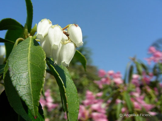 Pieris japonica - Lavendlheide